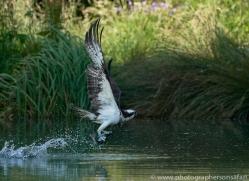 osprey-hide-rutland-copyright-photographers-on-safari-com-9515