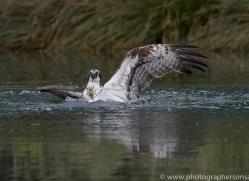 osprey-hide-rutland-copyright-photographers-on-safari-com-9518