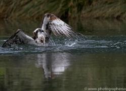 osprey-hide-rutland-copyright-photographers-on-safari-com-9519