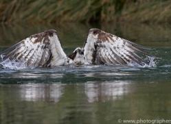 osprey-hide-rutland-copyright-photographers-on-safari-com-9521