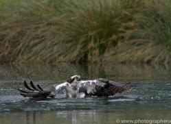 osprey-hide-rutland-copyright-photographers-on-safari-com-9523