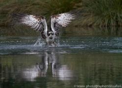 osprey-hide-rutland-copyright-photographers-on-safari-com-9524