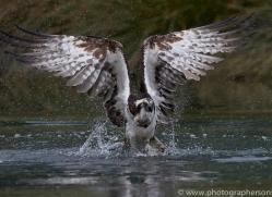 osprey-hide-rutland-copyright-photographers-on-safari-com-9525