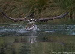osprey-hide-rutland-copyright-photographers-on-safari-com-9526
