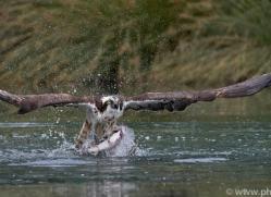 osprey-hide-rutland-copyright-photographers-on-safari-com-9527