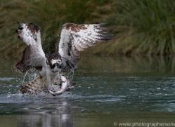 osprey-hide-rutland-copyright-photographers-on-safari-com-9528