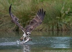 osprey-hide-rutland-copyright-photographers-on-safari-com-9530
