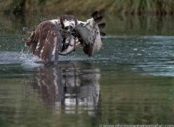 osprey-hide-rutland-copyright-photographers-on-safari-com-9531