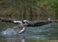 osprey-hide-rutland-copyright-photographers-on-safari-com-9535