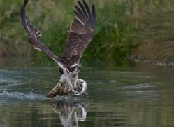 osprey-hide-rutland-copyright-photographers-on-safari-com-9540