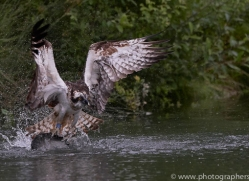 osprey-hide-rutland-copyright-photographers-on-safari-com-9541