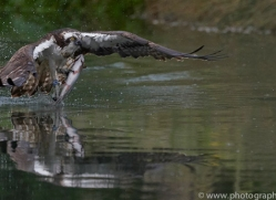 osprey-hide-rutland-copyright-photographers-on-safari-com-9542