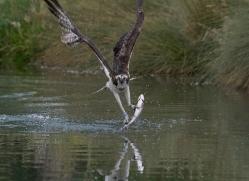 osprey-hide-rutland-copyright-photographers-on-safari-com-9548