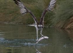 osprey-hide-rutland-copyright-photographers-on-safari-com-9550