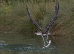 osprey-hide-rutland-copyright-photographers-on-safari-com-9552