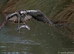 osprey-hide-rutland-copyright-photographers-on-safari-com-9555