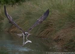 osprey-hide-rutland-copyright-photographers-on-safari-com-9556