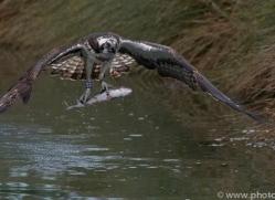 osprey-hide-rutland-copyright-photographers-on-safari-com-9557