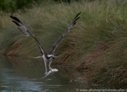 osprey-hide-rutland-copyright-photographers-on-safari-com-9558