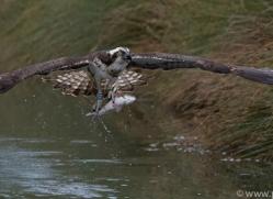 osprey-hide-rutland-copyright-photographers-on-safari-com-9559