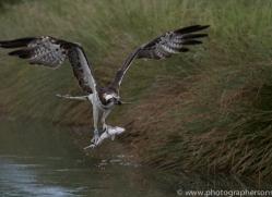 osprey-hide-rutland-copyright-photographers-on-safari-com-9560