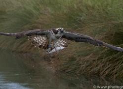 osprey-hide-rutland-copyright-photographers-on-safari-com-9561