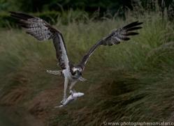 osprey-hide-rutland-copyright-photographers-on-safari-com-9562