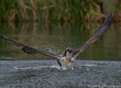 osprey-hide-rutland-copyright-photographers-on-safari-com-9565