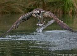 osprey-hide-rutland-copyright-photographers-on-safari-com-9568