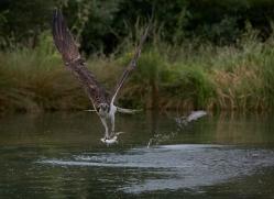osprey-hide-rutland-copyright-photographers-on-safari-com-9569