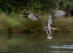 osprey-hide-rutland-copyright-photographers-on-safari-com-9571