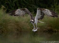 osprey-hide-rutland-copyright-photographers-on-safari-com-9573