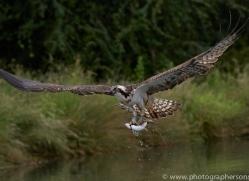 osprey-hide-rutland-copyright-photographers-on-safari-com-9574
