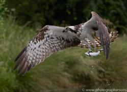 osprey-hide-rutland-copyright-photographers-on-safari-com-9575
