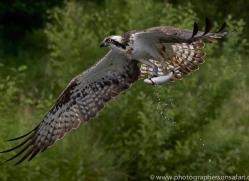 osprey-hide-rutland-copyright-photographers-on-safari-com-9576