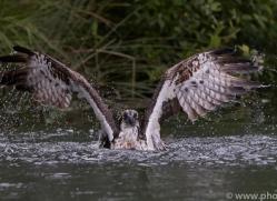 osprey-hide-rutland-copyright-photographers-on-safari-com-9578