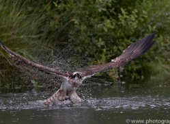 osprey-hide-rutland-copyright-photographers-on-safari-com-9580