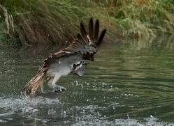 osprey-hide-rutland-copyright-photographers-on-safari-com-9592