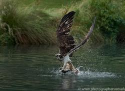 osprey-hide-rutland-copyright-photographers-on-safari-com-9593