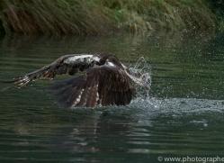 osprey-hide-rutland-copyright-photographers-on-safari-com-9594