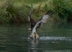 osprey-hide-rutland-copyright-photographers-on-safari-com-9595