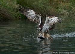 osprey-hide-rutland-copyright-photographers-on-safari-com-9597