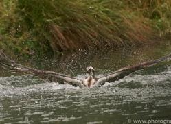 osprey-hide-rutland-copyright-photographers-on-safari-com-9599