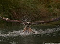osprey-hide-rutland-copyright-photographers-on-safari-com-9602