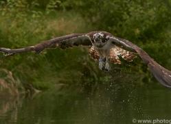 osprey-hide-rutland-copyright-photographers-on-safari-com-9603