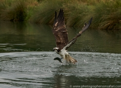 osprey-hide-rutland-copyright-photographers-on-safari-com-9604
