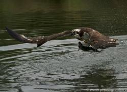 osprey-hide-rutland-copyright-photographers-on-safari-com-9606