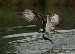 osprey-hide-rutland-copyright-photographers-on-safari-com-9607