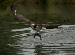 osprey-hide-rutland-copyright-photographers-on-safari-com-9608