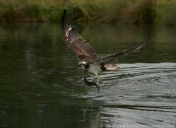 osprey-hide-rutland-copyright-photographers-on-safari-com-9610